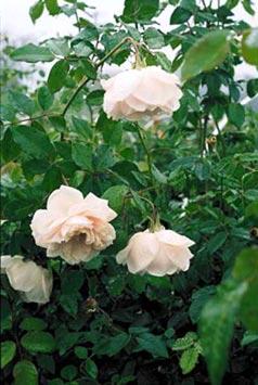 madame alfred carriere rose online gallery of antique roses. Black Bedroom Furniture Sets. Home Design Ideas